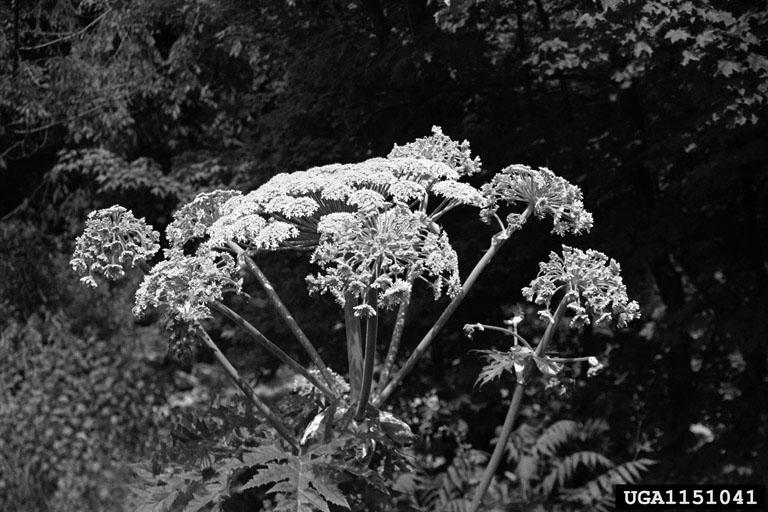Giant hogweed in Michigan