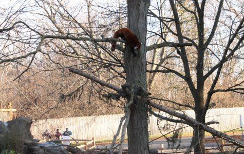 Rare red pandas get home renovation