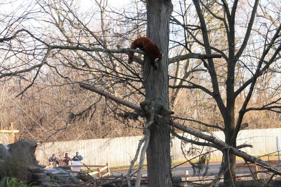 Rare red pandas get home renovation